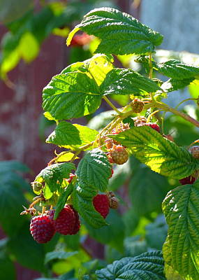Photograph - English Raspberries by Carla Parris