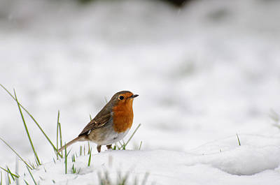 Photograph - English Robin by Ivelin Donchev