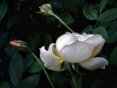 Photograph - English Rose In Profile With Two Buds by Louise Kumpf