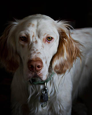 Photograph - English Setter by Brian Caldwell