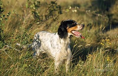 English Setter Photograph - English Setter Dog by M. Watson