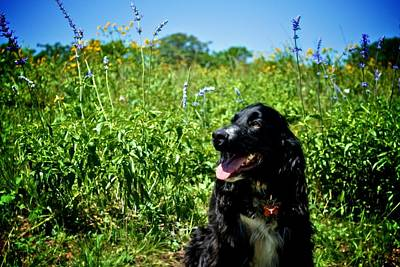 Photograph - Field Spaniel In The Wildflowers by Kristina Deane