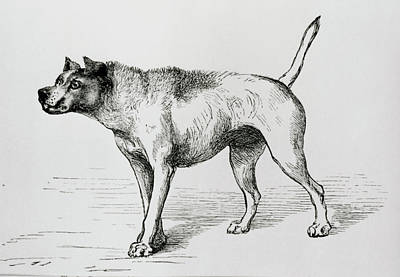 Engraving Of An Aggressive Dog Art Print by Science Photo Library