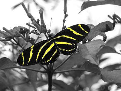 Digital Art - Enhanced Zebra Longwing by Ron Davidson