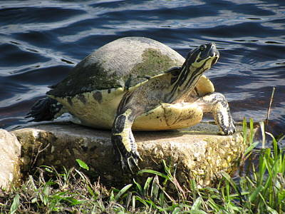 Turtle Photograph - Enjoying The Sun by Zina Stromberg