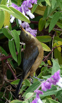 Photograph - Enjoying Pollen - Eastern Spinebill by Margaret Saheed