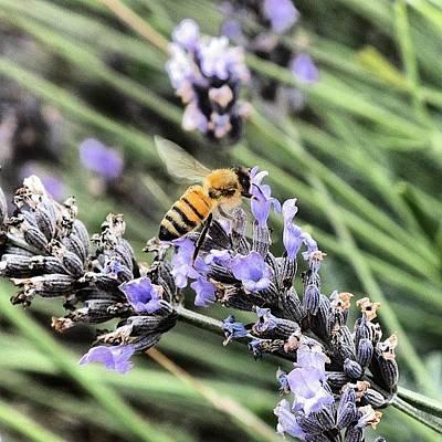 Lavender Photograph - Enjoying Some Nectar At Ali'i Kula by Brian Governale