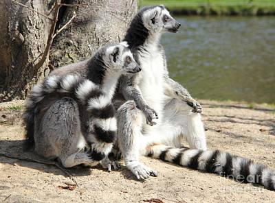 Ring Tailed Lemurs Photograph - Enjoying The First Sun by Jackie Mestrom