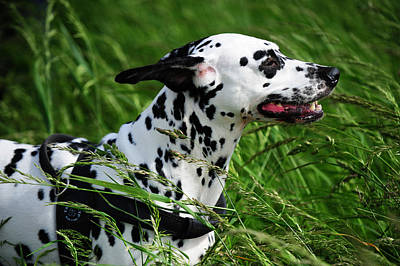 Photograph - Enjoying The Wind. Kokkie. Dalmatian Dog by Jenny Rainbow