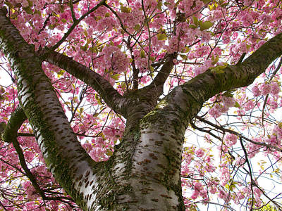 Photograph - Enkhiuzen Cherry Blossoms by David Beebe