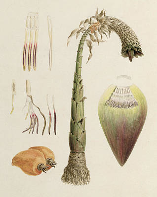 Botanical Drawing - Ensete Number Ten by Luigi Balugani