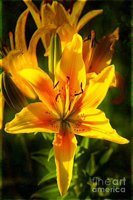 Photograph - Enticing Bloom Of Yellow And Orange Lilies Garden Art By Omaste  by Omaste Witkowski