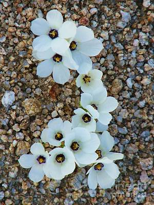 Photograph - Ephemeral White Parry Gilia by Michele Penner