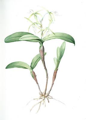 Orchids Drawing - Epidendrum Ciliare, Epindenre á Longs Ciils , Spider by Artokoloro