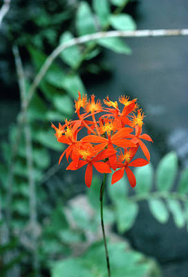 Epidendrum Ibaguense. Art Print by Science Photo Library