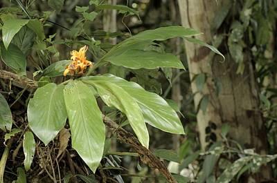 Epiphyte Photograph - Epiphytic Ginger Hedychium Sp by Fletcher & Baylis