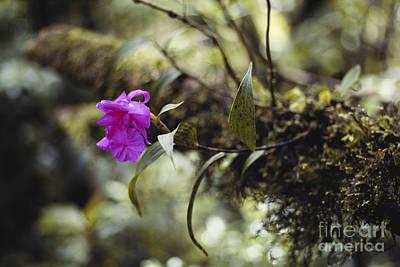 Epiphytic Orchid Art Print