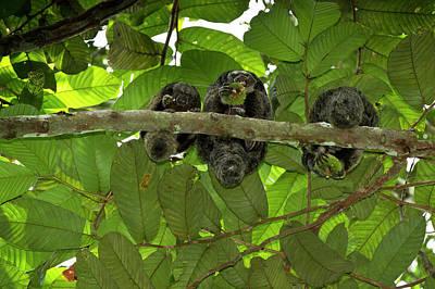 Amazon River Photograph - Equatorial Saki (pithecia Aequatorialis by Pete Oxford