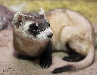 Black-footed Ferret Photograph - Equinox by Sandy Nervig