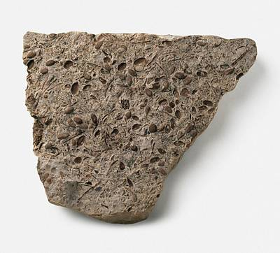 Triassic Photograph - Equisetites Tubers Fossil by Dorling Kindersley/uig