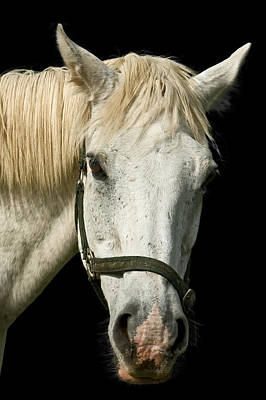 Photograph - Equus - Portrait Of A White Horse by Jane McIlroy