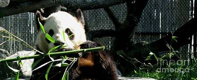 Nature Ers Photograph - Er Shun. The Cutie Female Giant Panda At Toronto Zoo by Ausra Huntington nee Paulauskaite