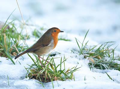 Robin Photograph - Erithacus Rubecula by Liz Leyden