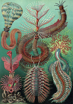 Photograph - Ernst Haeckel, Chaetopoda, Marine Worms by Science Source