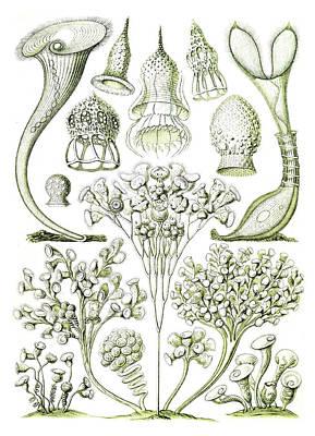 Photograph - Ernst Haeckel, Ciliates, Protozoans by Science Source