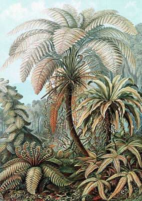 Photograph - Ernst Haeckel, Ferns by Science Source