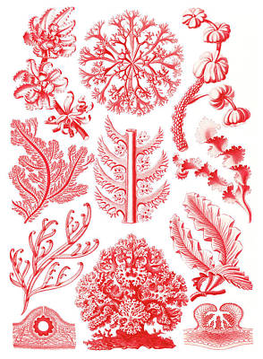 Photograph - Ernst Haeckel, Florideophyceae, Red by Science Source