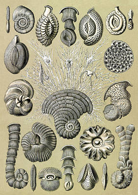 Photograph - Ernst Haeckel, Foraminifera, Protist by Science Source