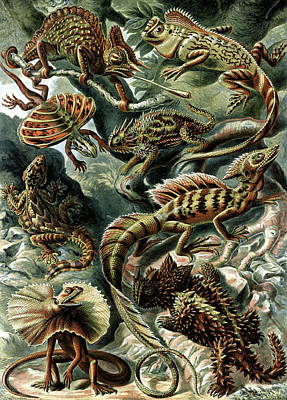 Photograph - Ernst Haeckel, Lacertilia by Science Source