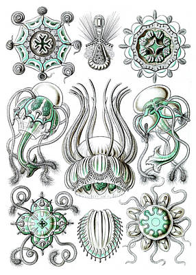 Photograph - Ernst Haeckel, Narcomedusae, Freshwater by Science Source