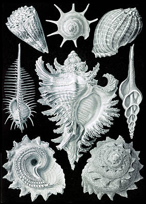 Photograph - Ernst Haeckel, Prosobranchia, Gastropod by Science Source