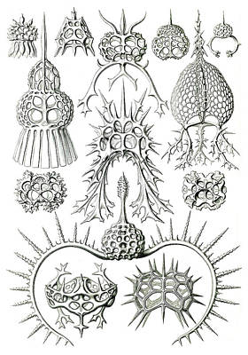 Photograph - Ernst Haeckel, Protozoa, Radiolaria by Science Source