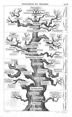Genealogical Photograph - Ernst Haekel, Family Tree Of Man, 1874 by Wellcome Images