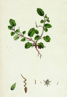 Stork Drawing - Erodium Maritimum Sea Storks-bill by English School