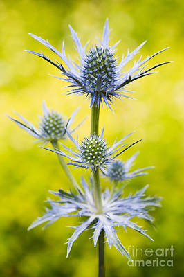 Eryngium X Oliverianum Art Print by Tim Gainey