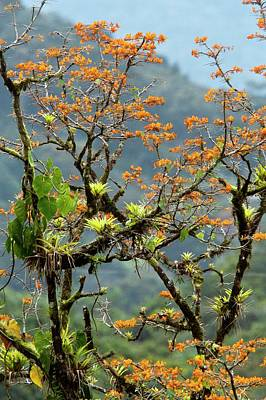 Epiphytic Photograph - Erythrina Poeppigiana Tree And Epiphytes by Bob Gibbons