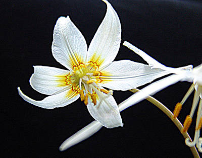 Fawn Mixed Media - Erythronium Californicum  Fawn-lily by Janet Ashworth