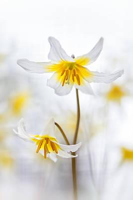Photograph - Erythronium Elegance by Sarah-fiona  Helme