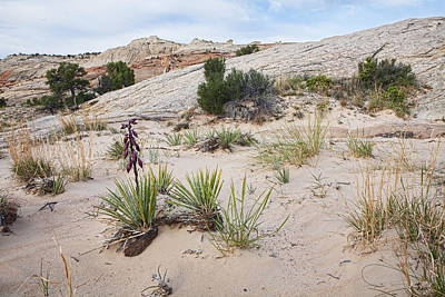 Escalante Photograph - Escalante Desert Yucca by Gregory Scott