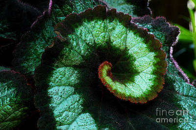Houseplant Digital Art - Escargot Begonia Detail by Nancy Mueller