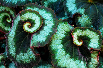 Houseplant Digital Art - Escargot Begonia by Nancy Mueller
