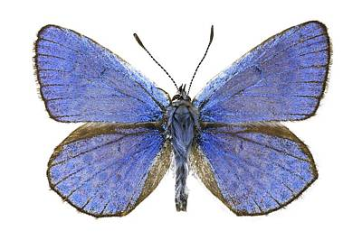 Escher Photograph - Escher's Blue Butterfly by Science Photo Library