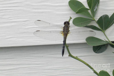 Photograph - Ethereal Dragonfly by Deborah Smolinske