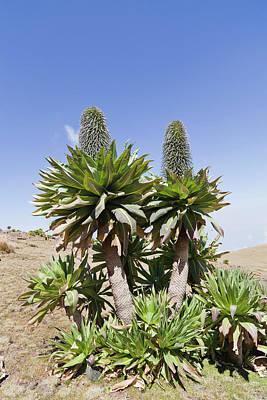 Ethiopian Photograph - Ethiopian Giant Lobelia (lobelia by Martin Zwick
