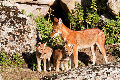 Ethiopian Photograph - Ethiopian Wolf (canis Simensis by Martin Zwick