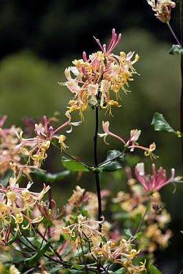 Honeysuckle Photograph - Etruscan Honeysuckle (lonicera Etrusca) by Bob Gibbons